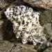 Haustrum scobina - Photo (c) Dougal Townsend,  זכויות יוצרים חלקיות (CC BY-NC)