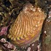 Haliotis australis - Photo (c) Dougal Townsend, alguns direitos reservados (CC BY-NC)