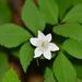 Three-leaved Anemone - Photo (c) Nuuuuuuuuuuul, some rights reserved (CC BY)