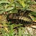 Bradyporus dasypus - Photo (c) Ilia Gjonov, algunos derechos reservados (CC BY-NC)