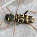 Xylotrechus arvicola - Photo (c) Marie Lou Legrand, osa oikeuksista pidätetään (CC BY-NC)