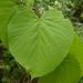 Tilia americana - Photo (c) Nate Hartley, μερικά δικαιώματα διατηρούνται (CC BY-NC)