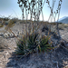 Texas False Agave - Photo (c) Adrián Lozano, some rights reserved (CC BY-NC-SA)