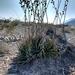 Hechtia texensis - Photo (c) Adrián Lozano, alguns direitos reservados (CC BY-NC-SA)