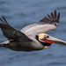 California Brown Pelican - Photo (c) BJ Stacey, some rights reserved (CC BY-NC)