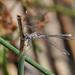 Lestidae - Photo (c) Lauren Sobkoviak, μερικά δικαιώματα διατηρούνται (CC BY-NC-ND)
