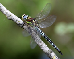 Hairy Dragonfly - Photo (c) marcel-silvius, some rights reserved (CC BY-NC)
