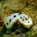 Chromodoris orientalis - Photo (c) crawl_ray,  זכויות יוצרים חלקיות (CC BY-NC)