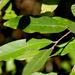 Diospyros mespiliformis - Photo (c) Wynand Uys, alguns direitos reservados (CC BY)