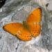 Cirrochroa tyche - Photo (c) Subhajit Roy, algunos derechos reservados (CC BY-NC-ND)