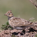 Eurasian Skylark - Photo (c) Ani Sarkisyan, some rights reserved (CC BY)