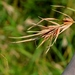 Kangaroo Grass - Photo (c) Lauren Baur, some rights reserved (CC BY-NC-ND)