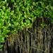 Black Mangrove - Photo (c) Javi Gonzalez, some rights reserved (CC BY-NC)
