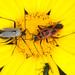 Calocoris nemoralis - Photo (c) Drepanostoma, algunos derechos reservados (CC BY-NC)