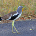 White-headed Lapwing - Photo (c) Arno Meintjes, some rights reserved (CC BY-NC)