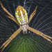 Dang's Cross Spider - Photo (c) budak, some rights reserved (CC BY-NC)