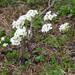 Noccaea alpestris - Photo (c) Christian Berg, algunos derechos reservados (CC BY)