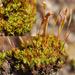 Tortula atrovirens - Photo (c) bryophyte_cnps, μερικά δικαιώματα διατηρούνται (CC BY-NC)