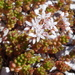 White Stonecrop - Photo (c) sea-kangaroo, some rights reserved (CC BY-NC-ND)