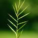 Brachypodium pinnatum rupestre - Photo (c) Alexander Rumpel, osa oikeuksista pidätetään (CC BY-NC)