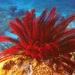 Himerometra robustipinna - Photo (c) Geoff Shuetrim,  זכויות יוצרים חלקיות (CC BY)