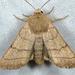 Charanyca trigrammica - Photo (c) Gilles San Martin, algunos derechos reservados (CC BY-SA)