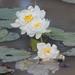 Nymphaea carpentariae - Photo (c) Arthur Chapman, algunos derechos reservados (CC BY-NC-SA)