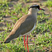 Crowned Lapwing - Photo (c) Vearl Brown, some rights reserved (CC BY-NC)