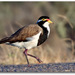 Banded Lapwing - Photo (c) Julian Robinson, some rights reserved (CC BY-NC)