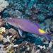 Goldsaddle Goatfish - Photo (c) DavidR.808, some rights reserved (CC BY-NC), uploaded by David R