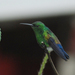 Blue-vented Hummingbird - Photo (c) Christian Schwarz, some rights reserved (CC BY-NC)