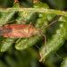 Pantilius tunicatus - Photo (c) Drepanostoma, alguns direitos reservados (CC BY-NC)