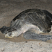 Olive Ridley Sea Turtle - Photo (c) agua_dulce_snake_guy, some rights reserved (CC BY-NC), uploaded by Bruce Freeman