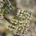 Paronychia erecta - Photo (c) Amber M. King, μερικά δικαιώματα διατηρούνται (CC BY)
