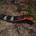 Orange-lipped Keelback - Photo (c) Brian Martin, some rights reserved (CC BY-NC)