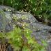 Heuchera glabra - Photo (c) Scott O'Donnell,  זכויות יוצרים חלקיות (CC BY-NC)