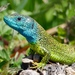 Green Lizard - Photo (c) peterstoeckl, some rights reserved (CC BY-NC)