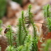 Temperate Firmosses - Photo (c) Derek Anderson, some rights reserved (CC BY-NC)