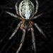 Silver-sided Sector Spider - Photo (c) Gilles San Martin, some rights reserved (CC BY-SA)