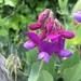 Lathyrus japonicus - Photo Ningún derecho reservado