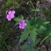Geranium sylvaticum - Photo (c) Oleg Kosterin,  זכויות יוצרים חלקיות (CC BY)