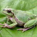 Eastern Tree Frog - Photo (c) Roberto Sindaco, some rights reserved (CC BY-NC-SA)