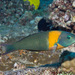 Saddle Wrasse - Photo (c) DavidR.808, some rights reserved (CC BY-NC), uploaded by David R