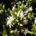 Olearia solandri - Photo Ningún derecho reservado