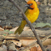 Black-necked Weaver - Photo (c) Nik Borrow, some rights reserved (CC BY-NC)