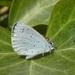 Celastrina - Photo (c) niccolaus88, alguns direitos reservados (CC BY-NC)
