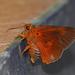 Orange Awlet - Photo (c) Matt Muir, some rights reserved (CC BY-SA)