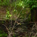 Agrostis perennans - Photo (c) John Beetham, algunos derechos reservados (CC BY-NC)