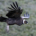 Andean Condor - Photo (c) heikkih, some rights reserved (CC BY-NC)