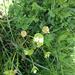 Claytonia perfoliata intermontana - Photo (c) Lew Stringer, algunos derechos reservados (CC BY-NC)
